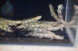 数量限定大特価! ポリプテルス エンドリケリィー 可愛いサイズ(約6.0〜7.0センチ±) 2匹セットで 神戸店在庫